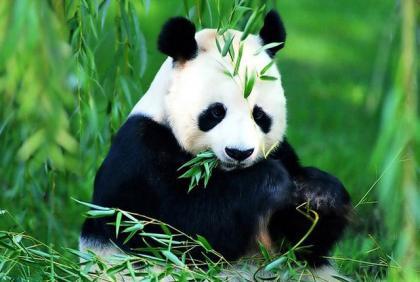 大熊猫肠道菌群