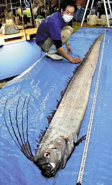 日本富山县海岸边不竭发明稀有的深海皇带鱼