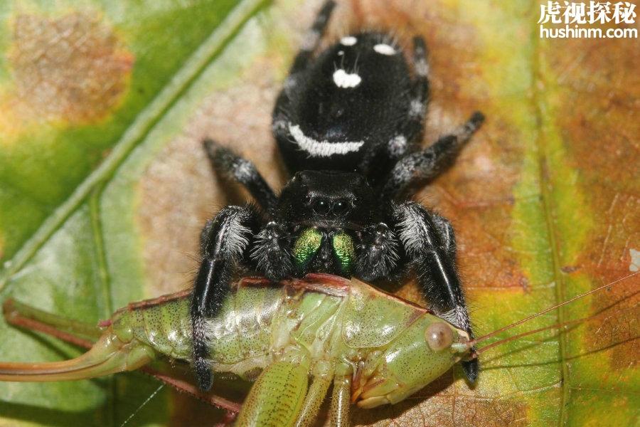 统计称蜘蛛每年吃掉8.8亿吨昆虫 吃肉量超过人类