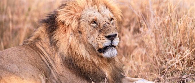 14头狮子南非出逃
