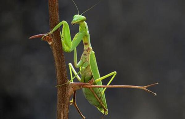 螳螂是无脊椎动物食肉型昆虫 螳螂的种类和特征