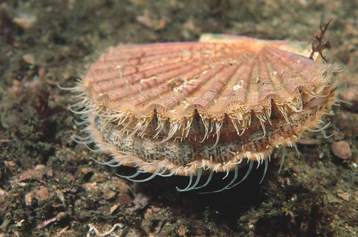 巨海扇蛤可以摄入数十亿个塑胶微粒